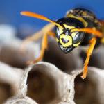 Melding van een wespennest voortaan via e-loket