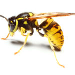 Vernietigen van een wespennest?